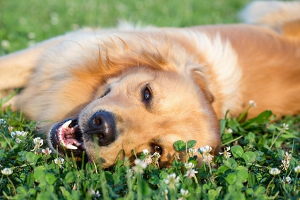retriever_dog_in_grass_boarding